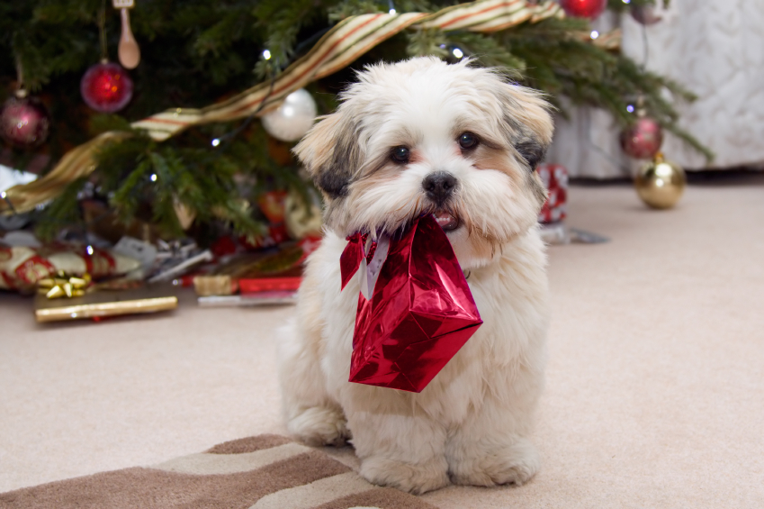 Lhasa apso puppy at Christmas