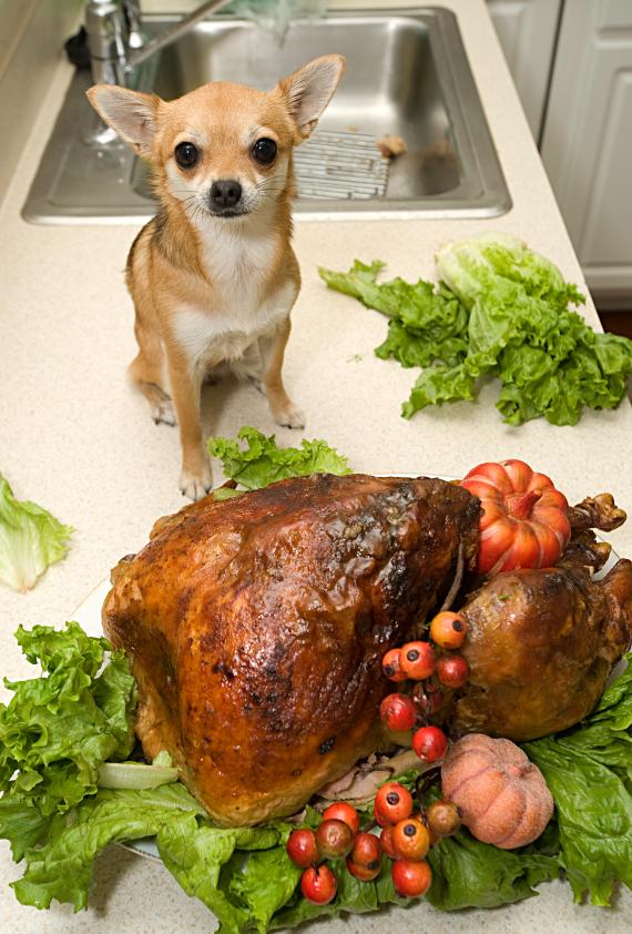 little dog turkey kitchen